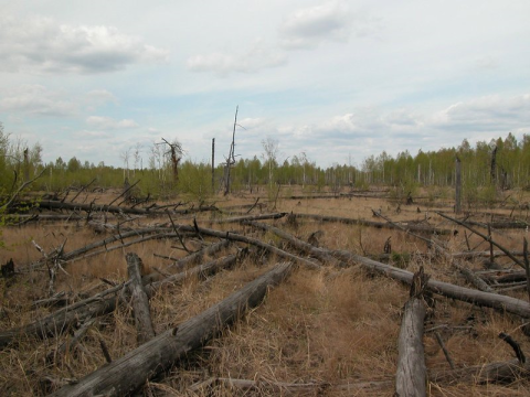 Fallen trees in Chernobyl's infamous red forest. Photo: T.A.Mousseau & A.P. Møller.