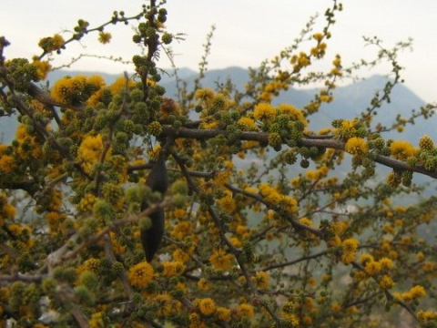 Acacia caven Molina, in the scrubland of Central Chile. Photo: Penarc / Wikimedia Commons.