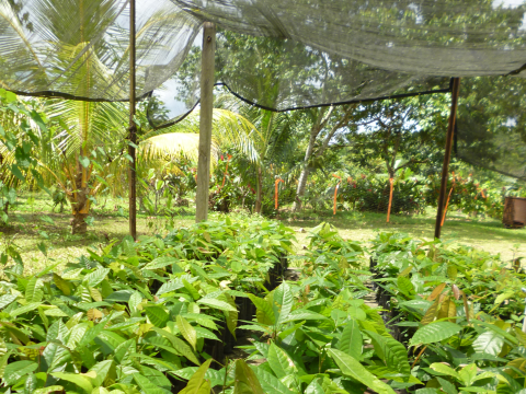 Cacao seedlings in the nursery - raised in biochar-enriched soil. Photo: Carbon Gold.