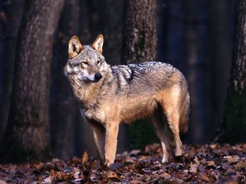 A wolf in the Transylvanian forest ventures into the sun. Photo: Istvan Kerekes / AFIAP.