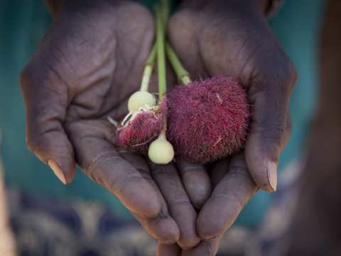 Forest fruit. Photo: Jason Florio / Concern Universal.