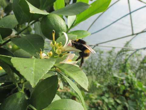 Busy bee visiting lemon tree flowers, Embercombe .