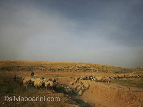 Tending sheep near Al Araqib. Photo: Silvia Boarini / silviaboarini.com.