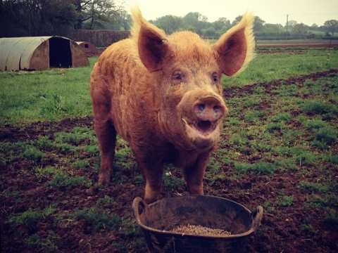 An organic Tamworth pig at Sandy Lane Farm, Oxfordshire. Photo: Sandy Lane Farm.