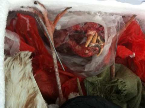 Frozen tiger head in a freezer at Xia Feng. Photo: © EIA.
