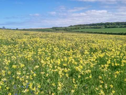 Cowslips in bloom on an organic permanent pasture at Courtyard Farm in Norfolk. Photo: Mike Day.
