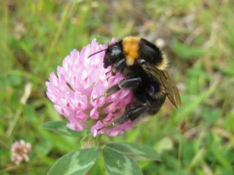 Bee in clover. Photo: Nikki Gammans.