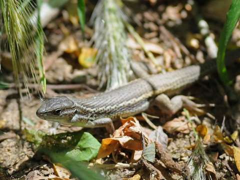 It's not just birds - a Large psammodromus lizard at Coto Doñana. Photo: Ian Keith via Flickr.