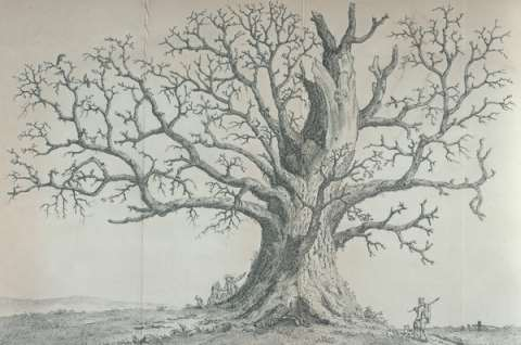 The Cawthorne oak in winter, as portrayed in the 1801 edition of John Evelyn's Sylva.