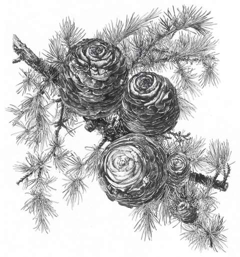 Cedar cones - a drawing from The New Sylva by Sarah Simblet.