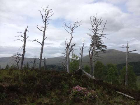Crying out for restoration! This amazing 8,000 year old remnant pinewood habitat at eastern end of the Glenmallie block has a few issues. Photo: Arkaig Community Forest.