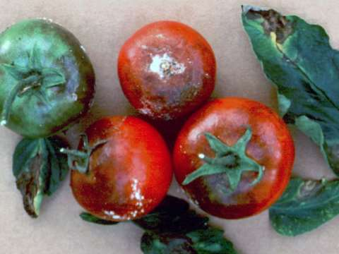 Blight also attacks all varieties of tomato, causing lesions on leaves and a firm rot on the fruit. Photo: Sarvari Trust.