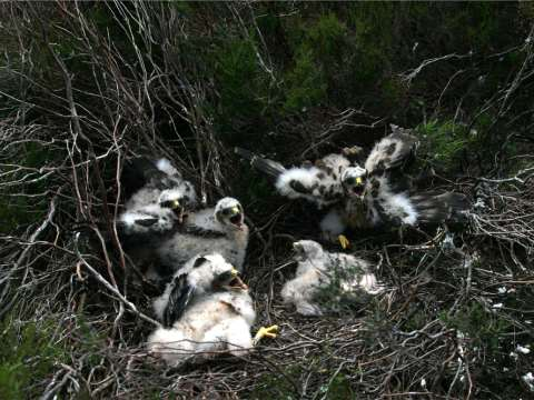 Hen harrier chicks. Photo: Mick Demain / RSPB.
