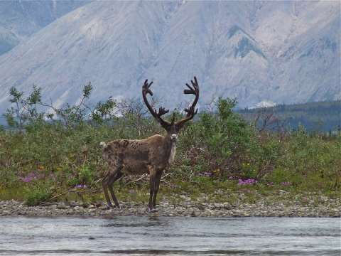 Moose in the Peel Watershed. Photo: Jill Pangman.