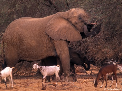 Mali elephants. Photo: Carlton Ward Jr.  / carltonward.com.