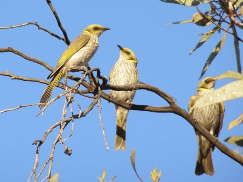 Yellow-plumed honeyeaters need patches of mallee that haven't been burned for at least 30 years. Photo: Simon Watson.