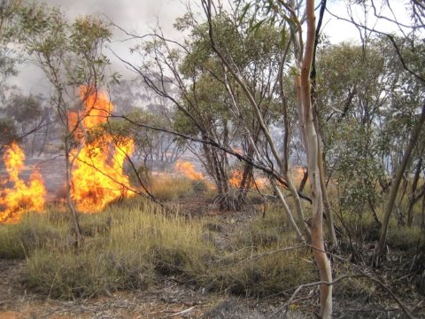 Fires consumes spinifex clumps and tree hollows - both important animal habitats. Photo: Lauren Brown.