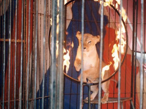 A lion jumps through a burning hoop. What cruelty did it take to make the lion perform? Photo: ADI.