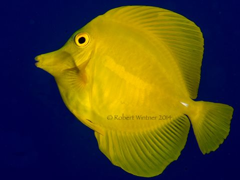 A Yellow Tang in nature, on a reef. Photo: Robert Wintner.