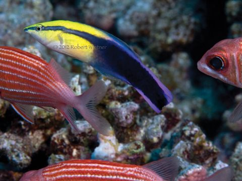 The Hawaiian cleaner wrasse works full time, keeping reefs from parasite loading. They die in 30 days of captivity but ship out daily - as many as the aquarium collectors can catch. Photo: Rober Wintner.