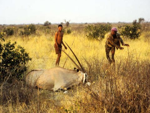 The Bushmen's sustainable methods of hunting are not incompatible with wildlife conservation, contrary to government claims. Photo: © Philippe Clotuche / Survival.
