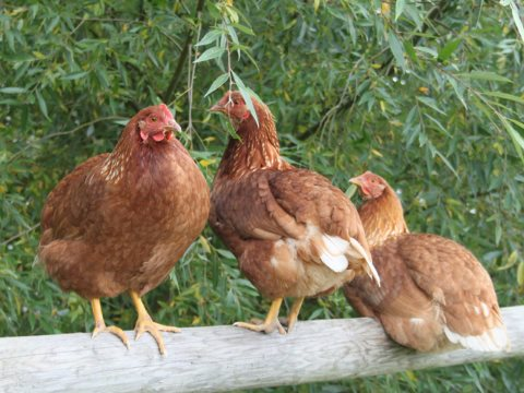 Free range chickens at Willowbrook farm, Oxfordshire. Photo: WillowbrookFarm.