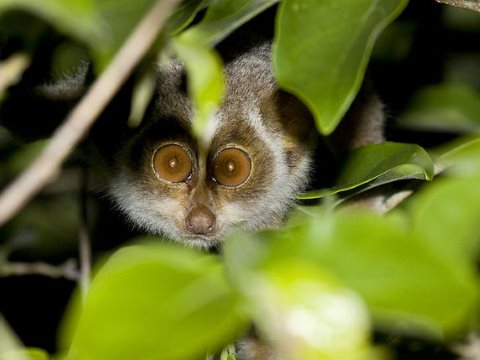 Going, going, gone: wildlife like the loris are disappearing. Photo: N. A. Naseer, CC BY-NC-ND.