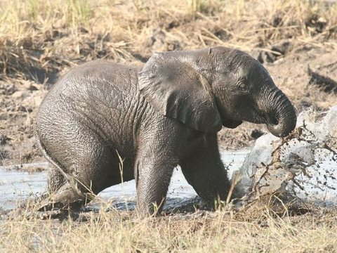 Thanks to poaching for ivory, elephants face a bleak future? Photo: Profberger, CC BY.