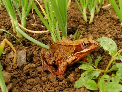 At least this frog among the Miller family's vegetables hasn't got bills to pay. Photo: Alicia Miller.