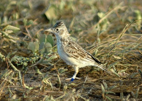 The Raso lark is only found on Raso Island, Cabo Verde. Photo: Welbergen / Wikimedia Commons.