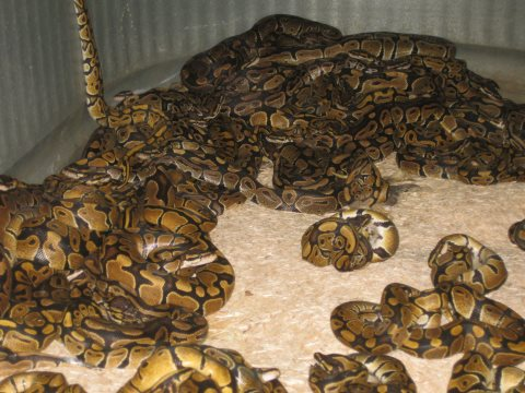 Wild-caught Royal pythons crowded into a trader's bin. Photo: PETA.