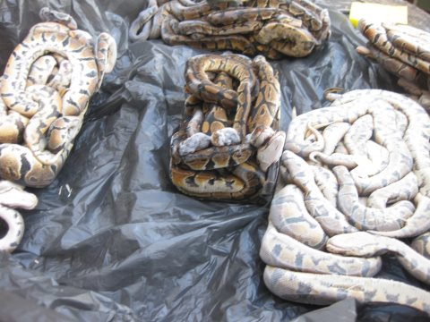 Numerous dead royal pythons found in dealer's freezers. Photo: PETA.
