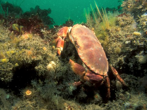 The edible crab Cancer pagurus. Photo: Rohan Holt / Marine Conservation Society.