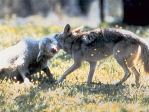 Coyote takes lamb. To prevent this, you have to get rid of all the predators, or all the sheep. Photo: USDA.