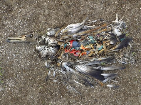 An albatross chick rots away leaving behind the plastic in its stomach. Photo: Chris Jordan, CC BY-NC-ND.