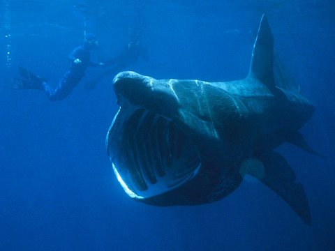 The plankton-feeding basking shark is liable to accumulate high levels of toxins ingested on microparticles of plastic. Photo: Chris Gotschalk / Wikimedia Commons.