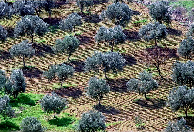 An olive grove in the hills of Galilee, Palestine. Photo: SmSm via Flickr.