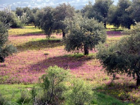 An ancient Palestinian olive grove. Photo: Amal.