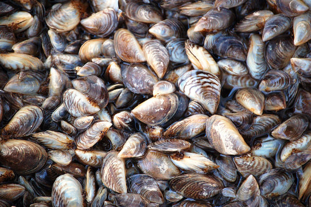 Quagga mussels from Lake Mead, Nevada. Photo: USFWS via Flickr (CC BY-NC-ND).