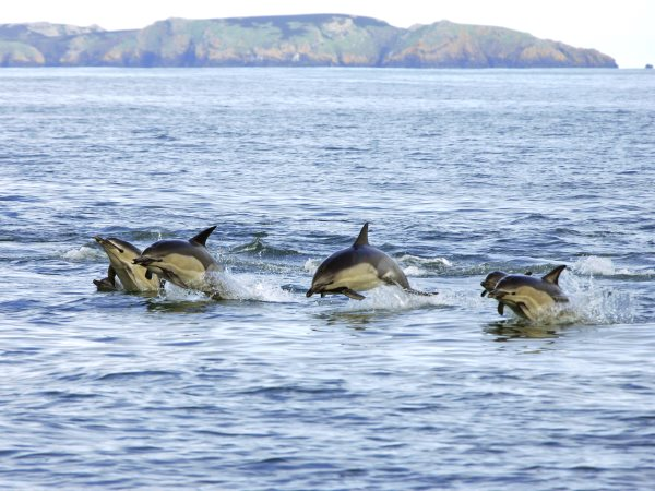 A pod of Common dolphins in UK coastal waters. Photo: Janet Baxter / The Wildlife Trusts.
