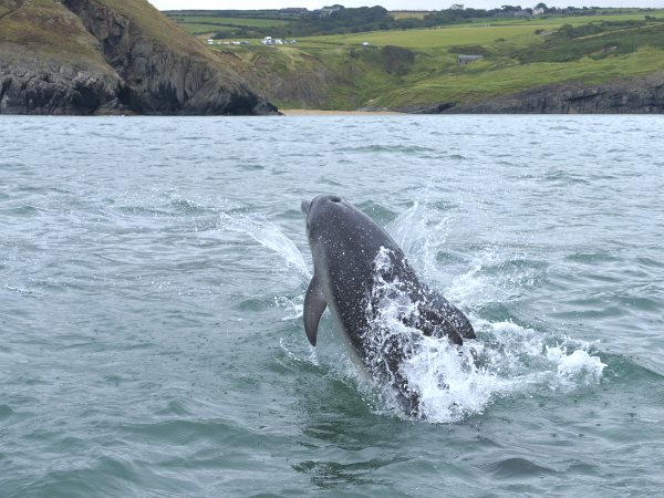 A Bottlenose dolphin in UK coastal waters. Photo: Janet Baxter / The Wildlife Trusts.
