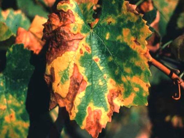 Pierce disease is caused by bacteria that constrict the water-conducting xylem tissue in the plant, causing dehydration and vine death. Photo: Pierce's disease on Chardonnay leaves by Dan Ng (CC BY-SA).
