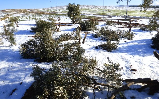 The Hushiy family's damaged olive trees. Photo: Operation Dove.