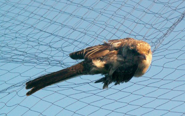 A masked Shrike caught in a mistnet on the UK's Cyprus military base. Photo: Graham Madge / RSPB.