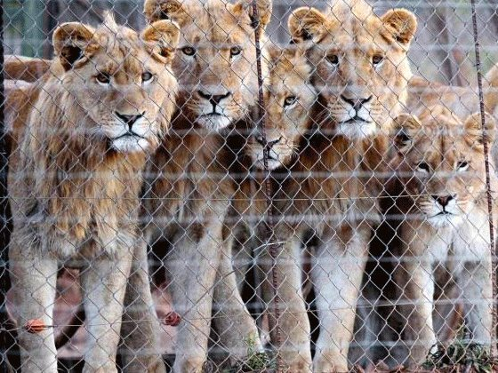 A canned lion breeding facility. Photo: Campaign Against Canned Hunting.