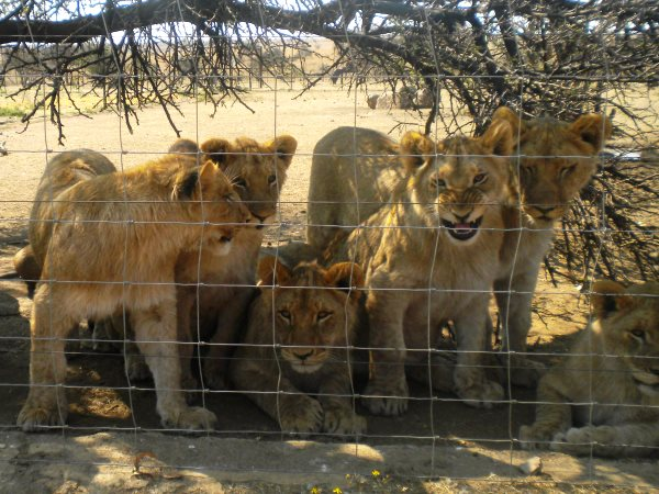 Lion cubs in a 'farm' supplying canned hunts. Photo: Campaign Against Canned Hunting.