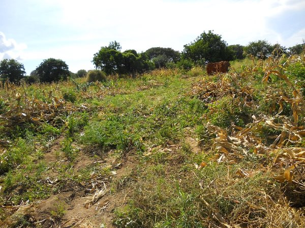 A Malawi maize crop after harvest, left to fallow. Photo: Marc Crouch / NAV.