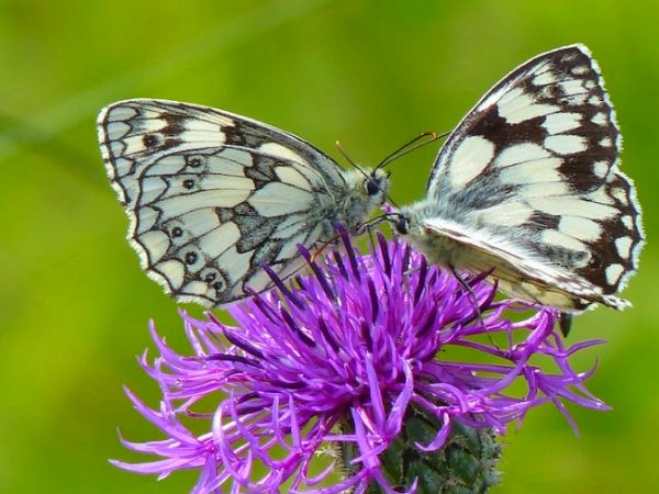 A Marbled White butterfly supping nectar from a Greater Knapweed in my 'mini-meadow'. Photo: Jo Cartmell.