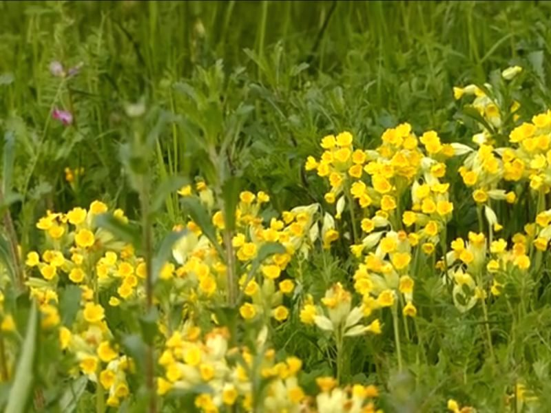 Spring time in my mini-meadow is market by the arrival of Cowslips in wondrous profusion. Photo: Jo Cartmell.