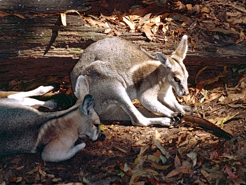 The Bridled Nail-tailed Wallaby is one of the endangered inhabitants of Queensland's threatened brigalow woodlands. Photo: Bernard DUPONT via Flickr (CC BY-SA).